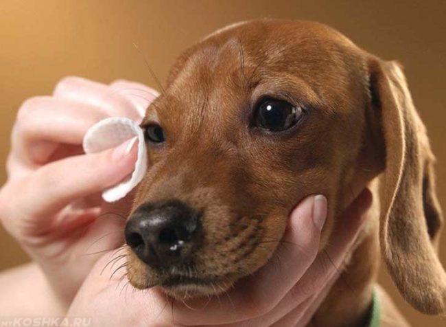Вытирание ватным диском глаза собаки