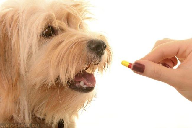 Собака и таблетка в руке хозяина