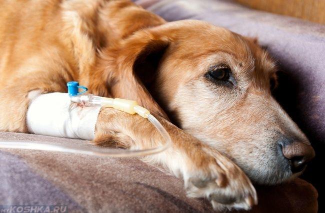 Вливание физиологического раствора собаке