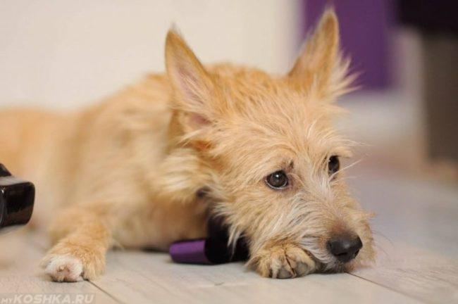 Собака в лежачем положении