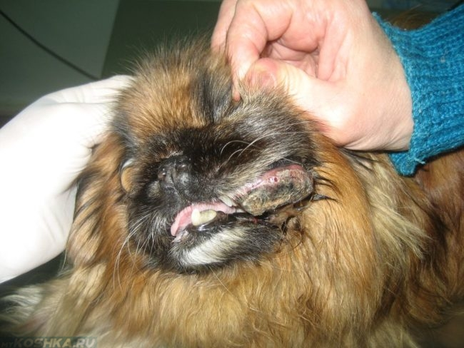 Лимфома губы у собаки с длинной шерстью
