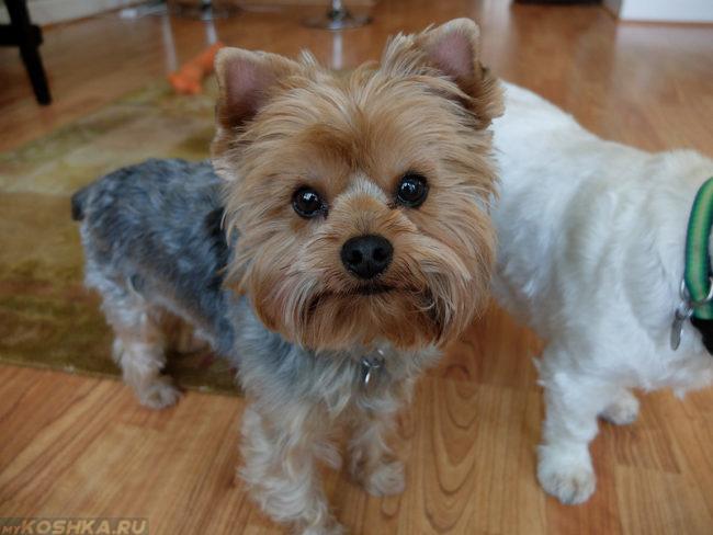 Собака породы йоркширский терьер