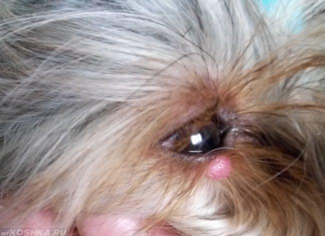 Мейбомит у собаки на глазу