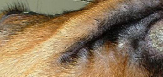 Микроспория у собаки на морде