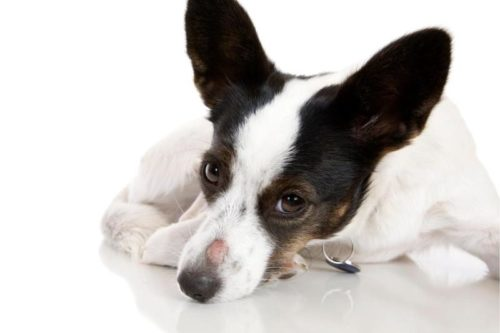 Микроспория у черно белой собаки на носу