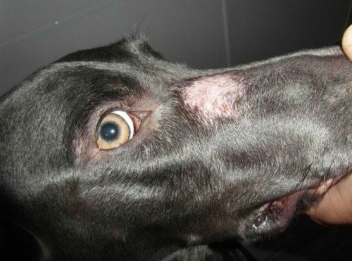 Микроспория у черной собаки на носу