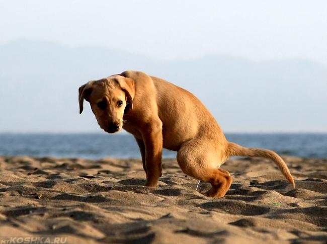 Процесс мочеиспускания у собаки