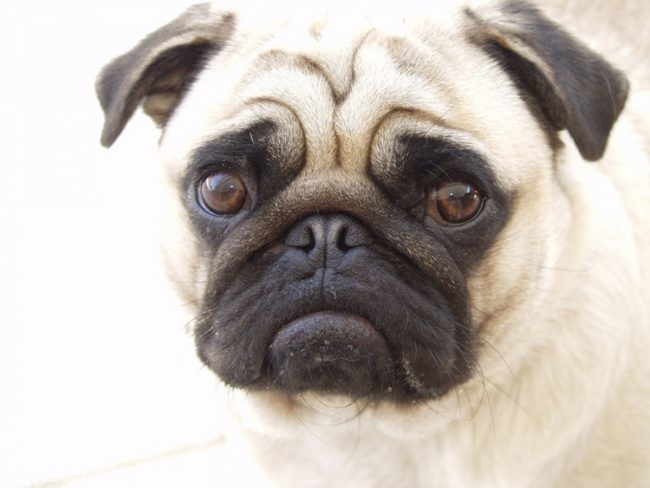 Собака породы мопс на белом фоне