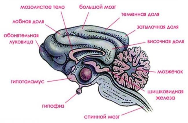 Строение головного мозга собаки в виде рисунка
