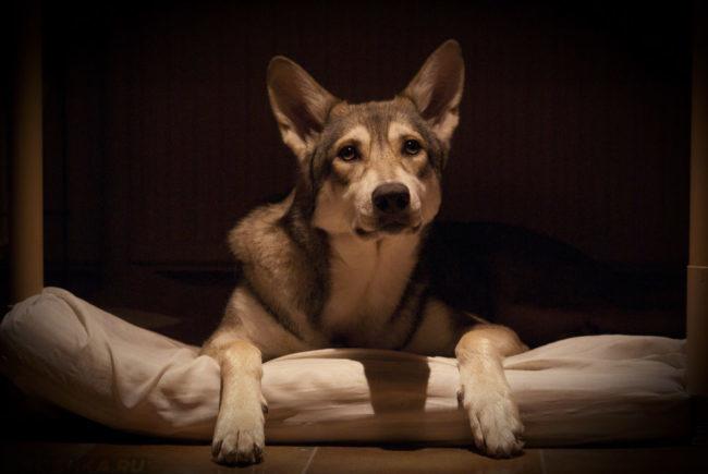 Собака в квартире на подстилке