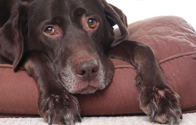 Собака с ослабленным иммунитетом