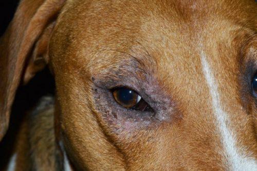 Выпадение шерсти вокруг глаз у собаки в приближенном виде