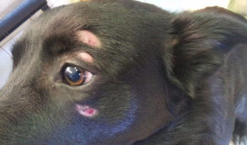 Выпадение шерсти вокруг глаз у собаки местами