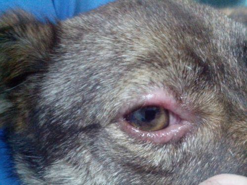 Выпадение шерсти вокруг глаз у собаки серого цвета