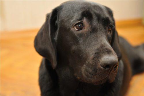 Выпадение шерсти вокруг глаз у собаки чёрного цвета