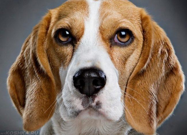 Собака с чёрным носом на сером фоне