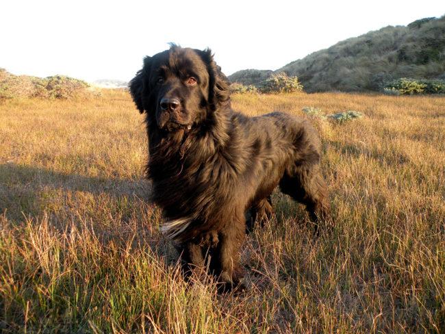 Собака породы ньюфаундленд