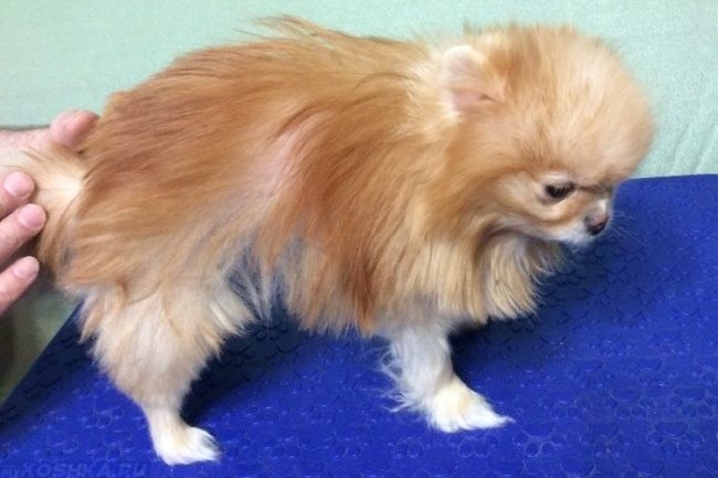 Облысение у собаки с длинной шерстью