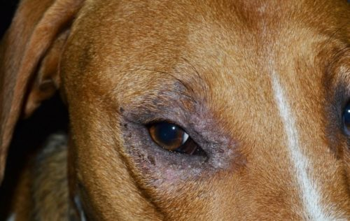 Облысение у собаки вокруг глаз в приближенном виде