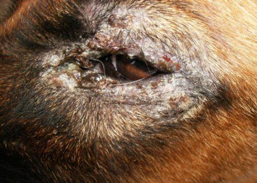 Облысение у собаки вокруг глаз и волдыри