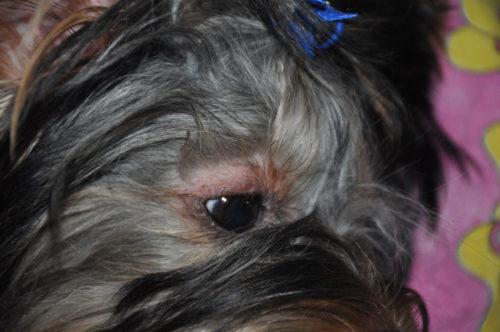 Облысение у собаки вокруг глаз серого окраса