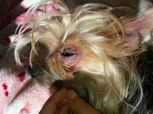 Облысение у собаки вокруг глаз и рука хозяйки