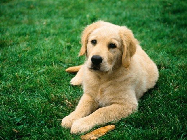 Годовалая собака на зелёной траве