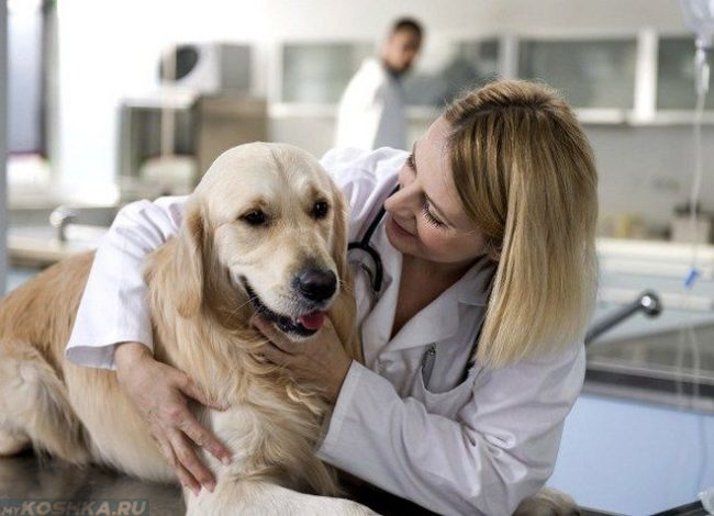 Одышка у собаки и ветеринар