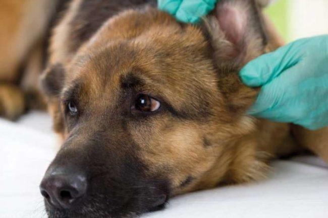 Осмотр уха собаки в клинике