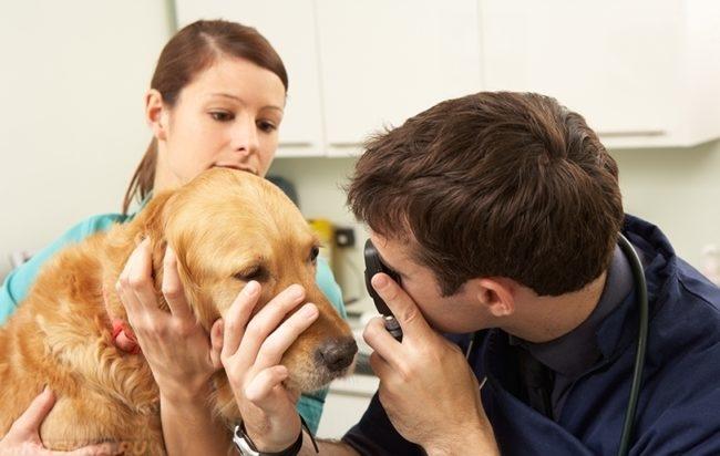 Осмотр глаз собаки в клинике