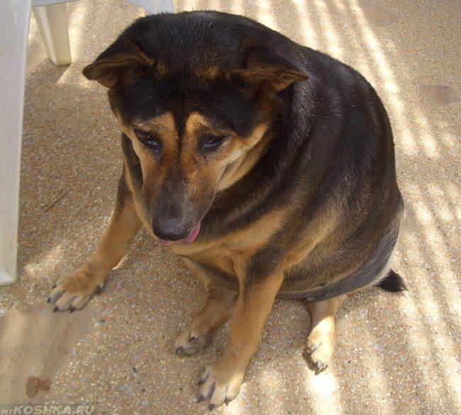 Ожирение у собаки с высунутым языком