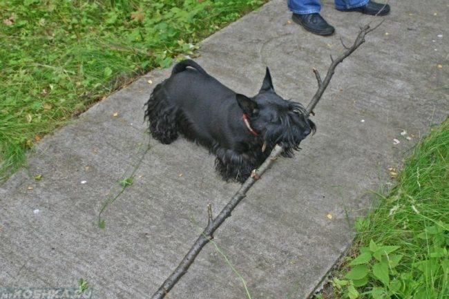 Собака держащая в пасти длинную палку