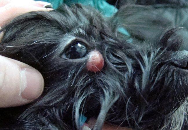 Папиллома у собаки у глаза
