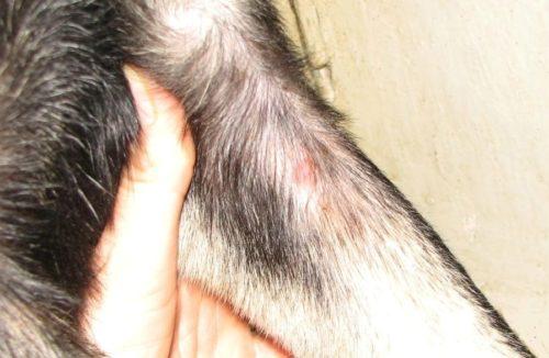 Папиллома у собаки на лапе и рука