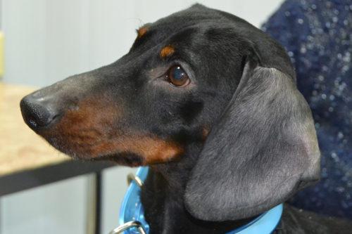 Алопеция у собаки породы такса