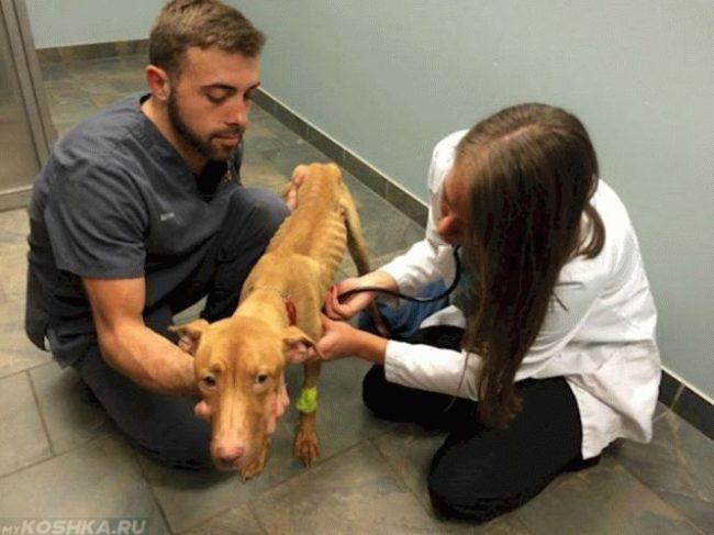 Печёночная недостаточность у собаки и два ветеринара