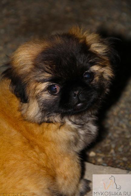 Собака породы пекинес не закисшие глаза