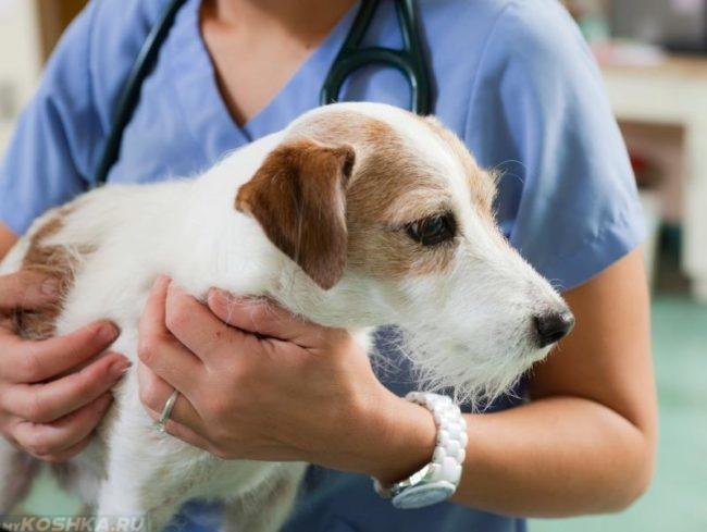 Собака перед операцией в ветеринарной клинике