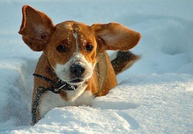 Собака гуляющая среди снега