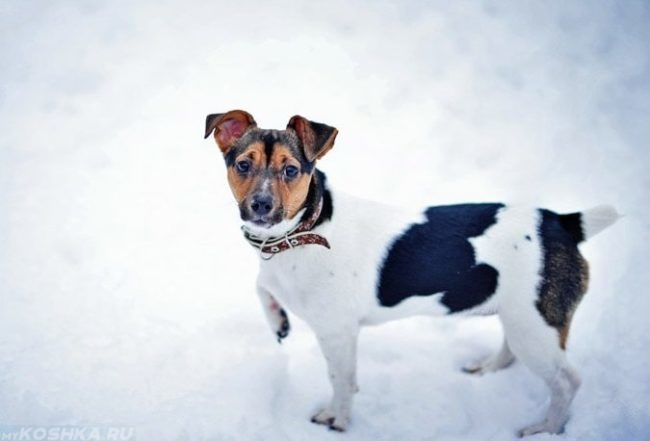 Собака в ошейнике на белом снегу