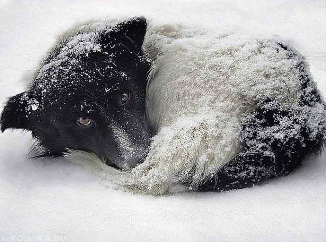 Собака свернувшаяся на снегу