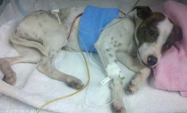 Собака заболевшая перитонитом