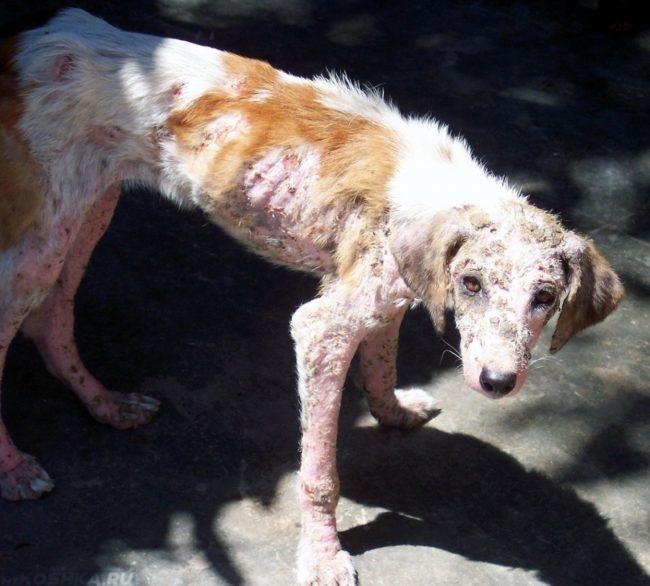 Пиодермия у собаки с ослабленным иммунитетом