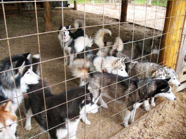Собаки в питомнике на решёткой