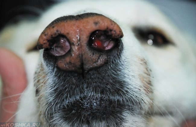 Полипы в носу у собаки в приближенном виде