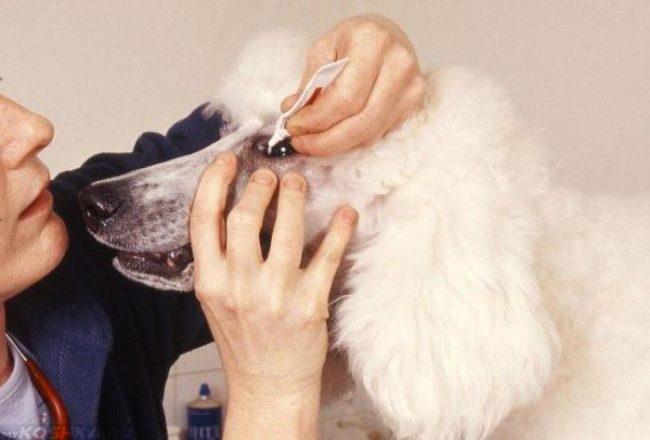 Оказание помощи собаке белого окраса