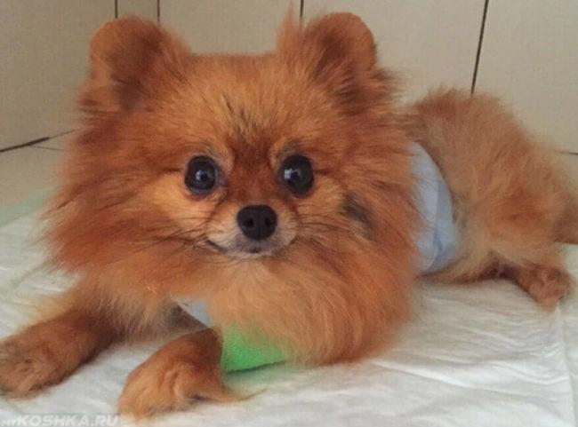 Пушистая собака после операции