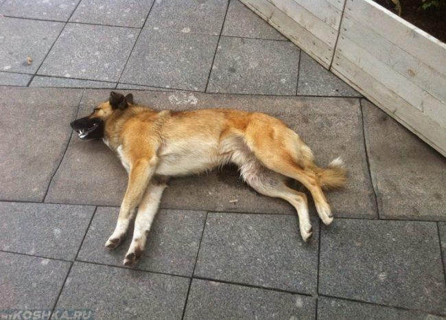 Судорожный припадок у собаки на улице