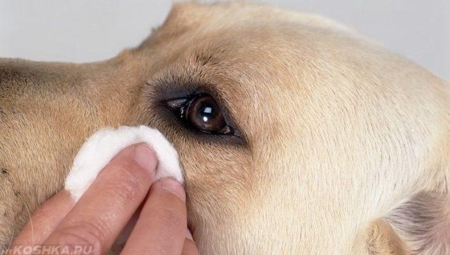 Промывка глаз собаке при помощи ваты