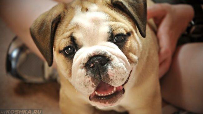 Прощупывание собаки по животу